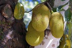 波罗蜜,面包果heterophyllus 免版税库存照片