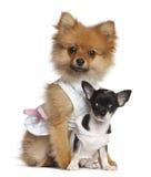 波美丝毛狗小狗、3个月和奇瓦瓦狗小狗 免版税库存图片