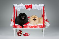 波美丝毛狗狗在床上的婚礼夫妇 免版税库存图片