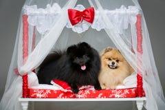 波美丝毛狗狗在床上的婚礼夫妇 库存照片