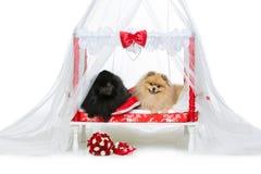 波美丝毛狗狗在床上的婚礼夫妇 免版税图库摄影