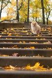 波美丝毛狗狗小狗在台阶的秋天公园 免版税库存照片