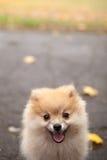 波美丝毛狗狗小狗在秋天公园 免版税库存图片