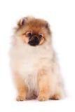 波美丝毛狗狗的小狗 库存图片