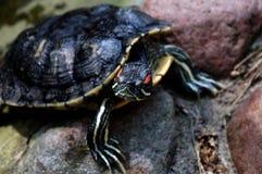 泥乌龟 免版税库存照片