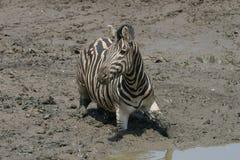 泥卡住的斑马 免版税图库摄影