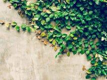 水泥墙壁背景的绿色常春藤植物与空间 免版税库存照片