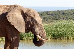 泥定期的非洲人布什大象 库存照片
