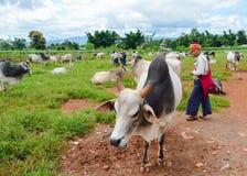 泥河,缅甸, 2016年9月12日:牛公平在泥河,一掸邦最多产的农业插孔,缅甸 库存图片