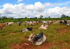 泥河,缅甸, 2016年9月12日:牛公平在泥河,一掸邦最多产的农业插孔,缅甸 免版税库存图片