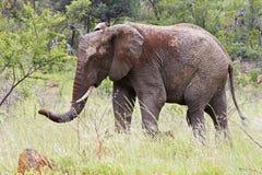 泥泞的大象 免版税库存照片