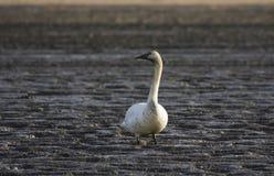 泥泞的天鹅号手 库存照片