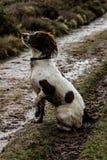 泥泞的小狗 免版税库存图片
