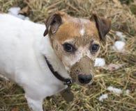 泥泞的杰克罗素狗 库存照片