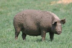 泥泞的母猪 图库摄影