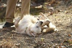 泥泞的白色小狗 库存图片