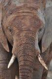 泥泞的非洲大象 免版税图库摄影