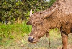泥泞的水牛 库存图片