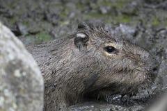 泥泞的水豚 库存图片