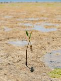 泥滩处于低潮中与在Benoa海湾巴厘岛的孤立美洲红树 免版税库存图片
