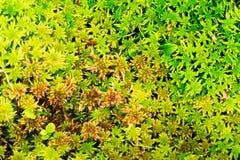 泥炭藓或沼泽青苔顶视图 绿色和红色生苔森林下木样式 库存照片
