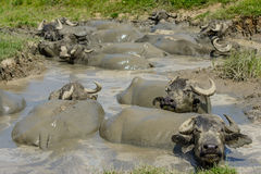 泥的水牛城从Bazna村庄,锡比乌县,特兰西瓦尼亚,罗马尼亚 图库摄影