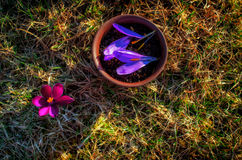 泥罐用与番红花瓣的用花装饰的红茶在春天 免版税库存图片