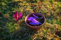 泥罐用与番红花瓣的用花装饰的红茶在春天 免版税库存照片