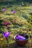 泥罐用与番红花瓣的用花装饰的红茶在春天 库存图片