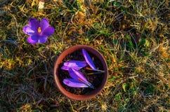 泥罐用与番红花瓣的用花装饰的红茶在春天m 库存照片