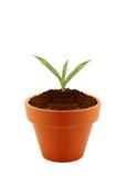 泥罐的年幼植物 库存图片