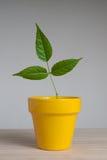 泥罐的年幼植物 免版税图库摄影
