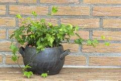 泥罐的绿色常春藤植物 免版税库存照片