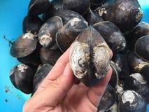 泥蛤蜊或美洲红树蛤蜊, Geloina coaxans 免版税库存照片