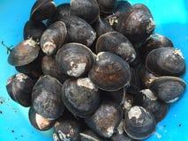 泥蛤蜊或美洲红树蛤蜊, Geloina coaxans 库存照片