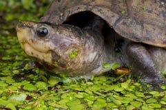 泥蝎子乌龟 库存照片