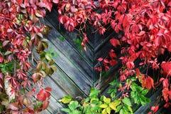 泥鳅植物在秋天的在木篱芭 免版税库存照片