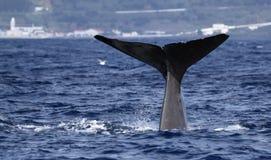 注意亚速尔群岛海岛-抹香鲸01的鲸鱼 库存照片
