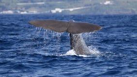注意亚速尔群岛海岛-抹香鲸02的鲸鱼 库存图片