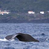 注意亚速尔群岛海岛-抹香鲸03的鲸鱼 免版税图库摄影