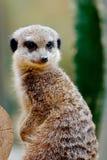 注意危险的机敏的Meerkat 库存照片