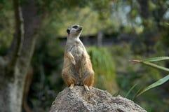 注意岩石的Meerkat 库存照片