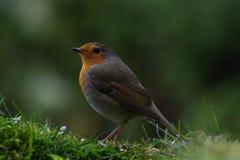 注意掠食性动物的机敏的欧洲知更鸟 库存图片