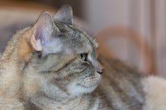 注意灰色家猫 库存照片