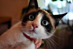 注意照相机的猫 库存图片