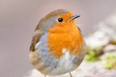 注意的接近的知更鸟 免版税库存照片