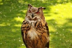 注意的猫头鹰 免版税库存图片