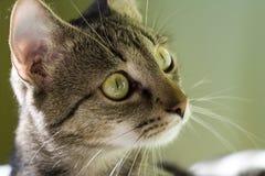 注意的猫 免版税库存图片