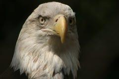 注意的老鹰 库存照片
