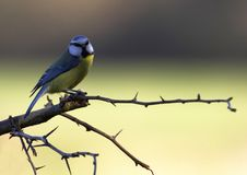 注意的蓝冠山雀 库存图片